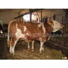 供应 安徽什么地方卖肉牛