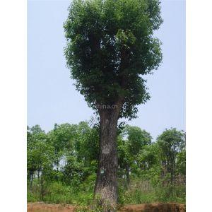 供应38公分移植高杆香樟益阳市慧林园林