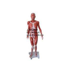 供应人体全身肌肉解剖模型