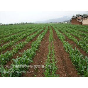 2015年高产脱毒玉米种子批发销售价格