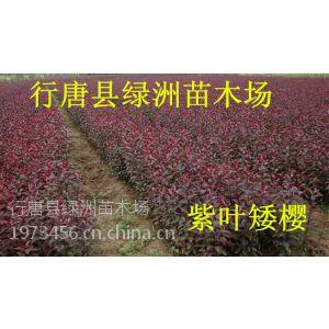 供应出售紫叶矮樱小苗