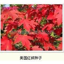 供应红枫种子来自瑞泰科技