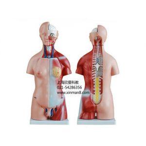 供应两性人体头、颈、躯干模型23件45CM