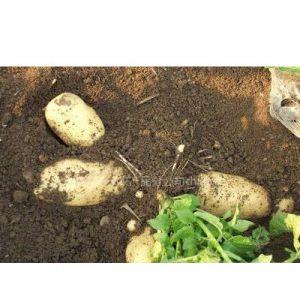 供应大量优质大个马铃薯/土豆