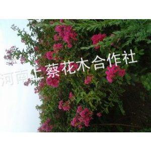 供应美国红紫薇、玫瑰红紫薇苗、百日红高1米以上。