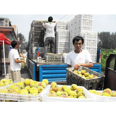 供应砀山黄桃2012价格 金童6号黄桃原料 全国的黄桃基地销售