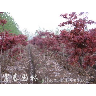 供应日本红枫,日本红枫红舞姬,三季红红枫,日本红枫基地