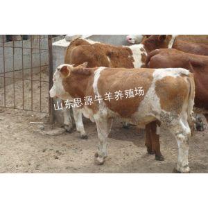 供应山东哪家是正规养牛场思源肉牛养殖场