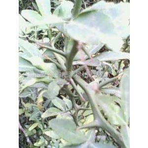 国有肥西县桥西林场供应:枸橘苗