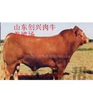 供应养殖新品种肉牛利木赞牛 农民致富新思路