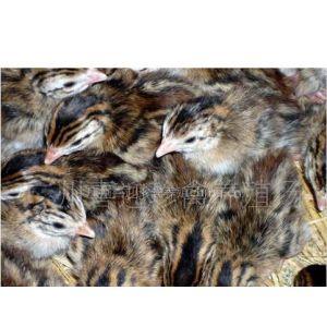 供应江苏的珍珠鸡养殖场直销特优质成活率高的珍珠鸡种苗