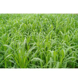 供应大量供应春夏播牧草种子 高丹草 墨西哥玉米草