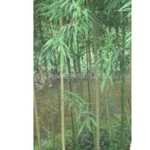 供应供应花卉苗木种子,竹子,绿化小苗