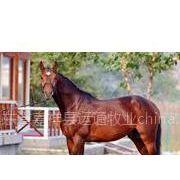供应训练马,肉马养殖场,肉马养殖基地