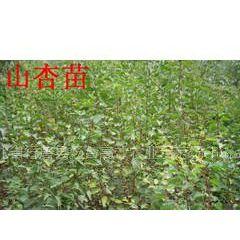 河北省石家庄有出售树苗卖树苗的