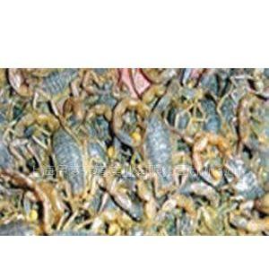 供应上海蝎子养殖市场前景-上海蝎子市场前景