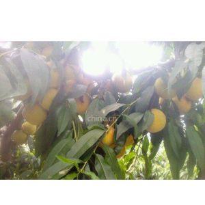 供应黄桃之乡,大量出售黄桃