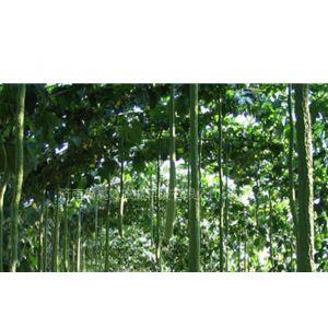 供应观食两用特长丝瓜种子