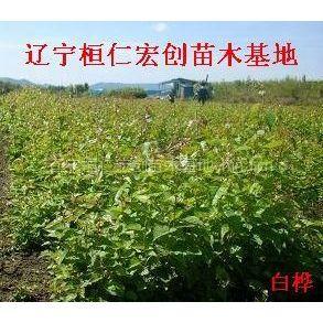 供应供应白桦、白桦基地、辽宁白桦、白桦小苗、白桦种子