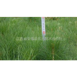 供应苗木种植基地 自产自销 千亩湿地松苗大量供应中 供应湿地松苗