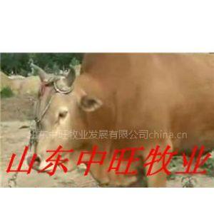 供应山东鲁西黄牛养殖中旺万家基地