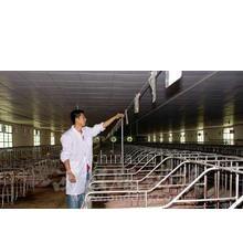 供应2012年哪里猪苗养猪场在哪里