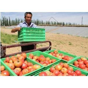 甘肃靖远县大量供应新鲜西红柿