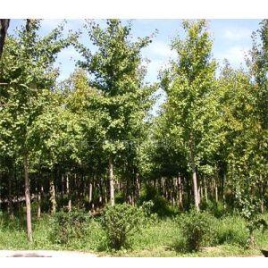 供应各种规格的银杏苗木