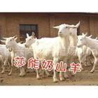 供应 圈养羊饲料 圈养羊吃什么 如何圈养羊
