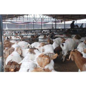 供应江西什么地方卖育肥羊/江西育肥羊市场价格