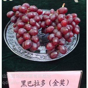 供应大棚早熟葡萄苗 适合大棚葡萄苗品种 特早熟葡萄苗