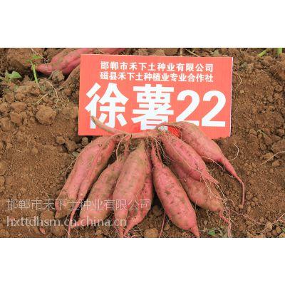 淀粉加工红薯粉条专用红薯徐薯22,禾下土供应徐薯22高淀粉脱毒红薯苗
