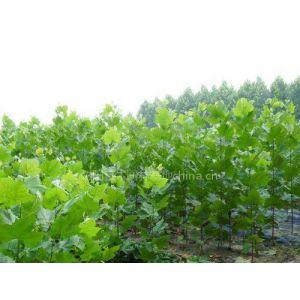 供应法桐样品的树木进行测量