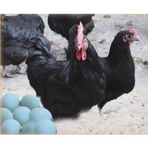 供应供绿壳蛋鸡种苗和商品