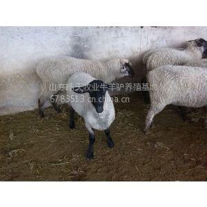 供应如何加工秸秆来喂牛羊,黑山羊价格