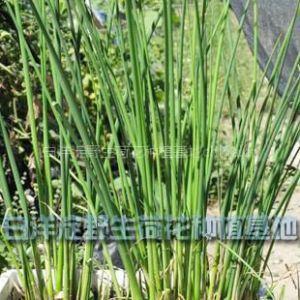 供应白洋淀野生荷花种植基地 出售水葱