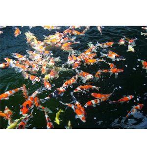 供应出售日本锦鲤鱼苗