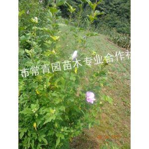 供应木槿、湖北木槿小苗、湖北木槿工程苗