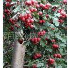 供应山西占地果树山楂树柿子树核桃树桃树梨树苹果树樱桃树