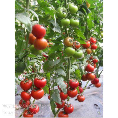 """供应高产红果番茄种子""""瑞福"""""""