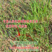 供应大量春夏播牧草种子 草籽/高丹草/墨西哥玉米草种子