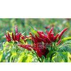 供应优质朝天椒种子,红辣椒种子,高产辣椒种子