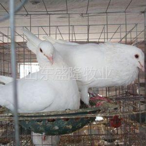 供应落地王鸽养殖,山东落地王鸽,元宝鸽养殖场哪个厂子鸽子