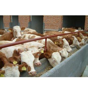 供应山东肉牛养殖基地 宏立牧业提供牛羊