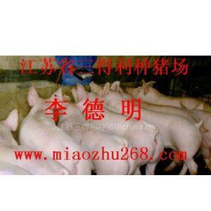 供应出售三元仔猪150头以上免费运输三得利种猪场