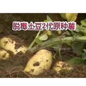 供应秋繁脱毒土豆2代原种薯