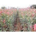 供应大量供应红叶石楠苗
