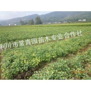 供应银杏|银杏价格|湖北银杏|银杏种植|银杏培育|银杏苗圃