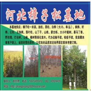 供应丛生白桦树,丛生蒙古栎,五角枫,樟子松