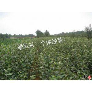 供应花椒苗哪里有 山东花椒苗 花椒苗产地种植 花椒苗园艺场苗木
